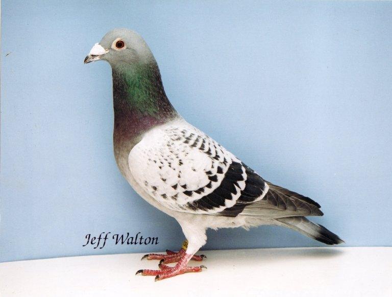 pigeons_pics_0001_190